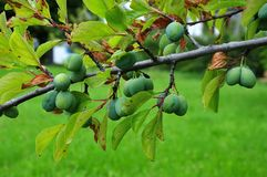 Ciruelas claudia que crecen en la rama en verano imagenes de archivo