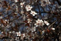 Ciruelo de cereza Imágenes de archivo libres de regalías