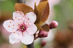 Ciruelo de cereza Fotografía de archivo