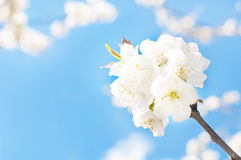 Ciruelo en flor Fotografía de archivo