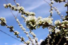 Ciruelo en la floración Foto de archivo