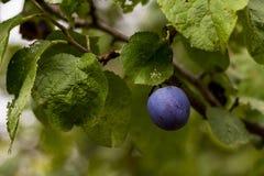 Ciruelo en un árbol Foto de archivo libre de regalías