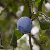 Ciruelo en un árbol Fotografía de archivo