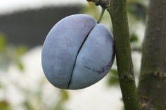 Ciruelo en un árbol Imagen de archivo libre de regalías