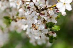 Ciruelo floreciente Foto de archivo libre de regalías