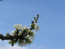 Ciruelo floreciente contra el cielo azul Flor de los impollinates de la abeja Toscana, Italia Fotografía de archivo