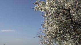 Ciruelo floreciente de abril en el fondo del cielo azul 4K almacen de video
