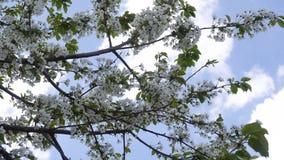 Ciruelo floreciente de abril en el fondo del cielo azul 4K metrajes