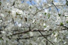Ciruelo floreciente del pollinationg de la abeja de la miel en primavera Imagenes de archivo