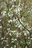 Ciruelo floreciente en el jardín Imágenes de archivo libres de regalías