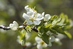 Ciruelo floreciente en el jardín Foto de archivo libre de regalías
