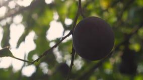 Ciruelo fresco en el árbol almacen de video