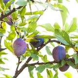Ciruelo púrpura maduro Foto de archivo