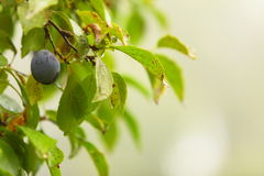Ciruelo púrpura que crece en árbol. Productos naturales. Foto de archivo libre de regalías
