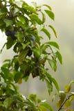Ciruelo púrpura que crece en árbol. Productos naturales. Imagenes de archivo