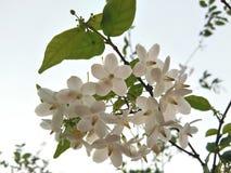 Ciruelo salvaje blanco del agua, ramo sagrado de las flores fotografía de archivo