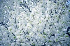 Ciruelo salvaje del árbol floreciente foto de archivo