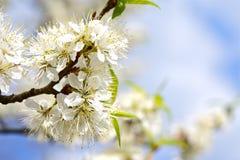 Ciruelo salvaje floreciente foto de archivo