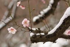 Ciruelo y nieve 2 Imagen de archivo libre de regalías