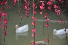 Ciruelo y patos rojos Imagenes de archivo