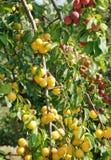 Ciruelos amarillos orgánicos en una ramificación Imagenes de archivo