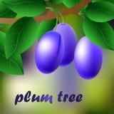 Ciruelos azul oscuros, jugosos, dulces en una rama para su diseño Vector Foto de archivo