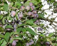 Ciruelos azules en árbol Imagen de archivo libre de regalías