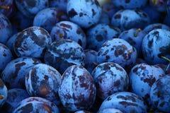 Ciruelos azules frescos Fotografía de archivo