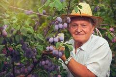 Ciruelos de la cosecha del hombre mayor Fotos de archivo