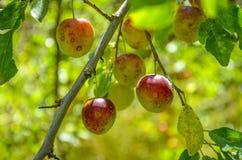 Ciruelos en la fruta del ciruelo del árbol Foto de archivo libre de regalías