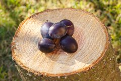 Ciruelos en tocón de madera en jardín el día soleado Foto de archivo libre de regalías