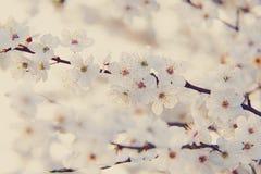 Ciruelos florecientes del arbusto en la primavera foto de archivo