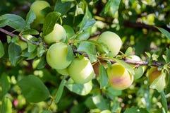 Ciruelos inmaduros de las frutas (variedad: Ciruela claudia) en las ramas Imagen de archivo