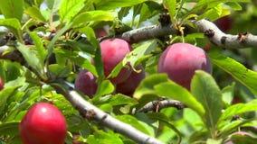 Ciruelos maduros en una rama entre las hojas