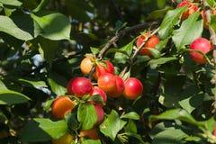 Ciruelos maduros rojos Imagen de archivo libre de regalías