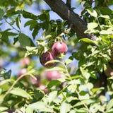 Ciruelos maduros rojos en el árbol Fotos de archivo