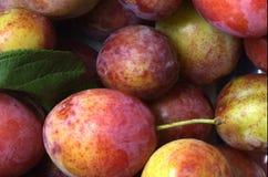 Ciruelos orgánicos recientemente escogidos Foto de archivo libre de regalías