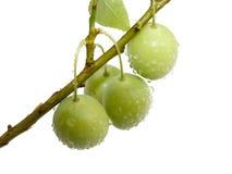 Ciruelos verdes de las frutas con gotas Foto de archivo libre de regalías