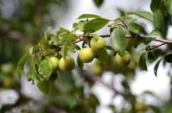 Ciruelos verdes orgánicos Imagen de archivo libre de regalías