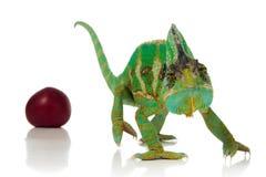 Ciruelos y camaleón rojos Imágenes de archivo libres de regalías