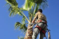 Cirujano de la palmera en el trabajo Foto de archivo
