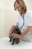 Cirujano veterinario de la mujer joven Fotografía de archivo libre de regalías
