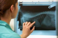 Cirujano veterinario de sexo femenino que examina el rayo de X imagen de archivo