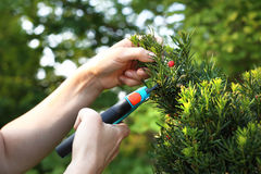 Cis, green bush shrub. Gardener pruned yew shrub shears stock image