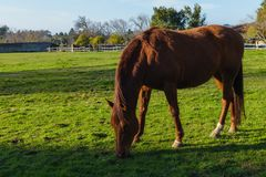 Cisawa końska łasowanie trawa w łące w gospodarstwie rolnym fotografia stock