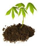 Cisawego drzewa flanca z zielonymi ?wie?ymi li??mi w czerni ziemi odizolowywaj?cej na bia?ym tle Poj?cie Ziemski dzie? i ekologia obrazy royalty free