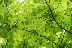 cisawi kwieciści jako tło dobrych liści Zdjęcie Stock