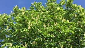 cisawy drzewo zdjęcie wideo