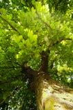 cisawy drzewo Obraz Stock