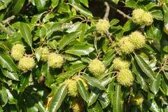 Cisawy drzewo Fotografia Royalty Free